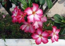 Wüsten-Blume, Adenium obesum Stockbilder