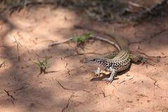 Wüsten-Eidechse Stockfoto