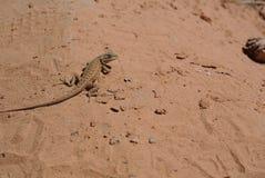 Wüsten-Eidechse, Moab, Utah stockfotos