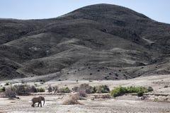 Wüsten-Elefant, der in Purros, Kunene-Region geht naphtha stockbilder
