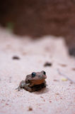 Wüsten-Frosch stockfotografie