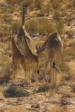 Wüsten-Giraffe Stockfoto