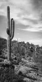 Wüsten-Kaktus Stockfotos