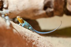 Wüsten-Kragen-Leguan im Prag-Zoo stockfotos