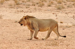 Wüsten-Löwe in Afrika Stockfoto