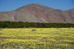 Wüsten-Löwenzahn-Teppich in Kalifornien stockbild