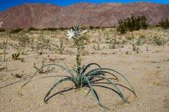 Wüsten-Lilie Lizenzfreie Stockfotografie