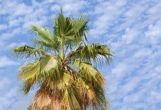 Wüsten-Palme Stockfoto