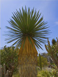 Wüsten-Palme Lizenzfreie Stockbilder