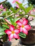 Wüsten-Rose-Impala-Lilien-Spott-Azalea Pink-Blumen lizenzfreie stockfotos