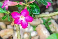 Wüsten-Rose Tropical-Blume Rosa Adenium Lizenzfreies Stockbild