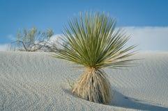 Wüsten-Schönheit Stockbilder