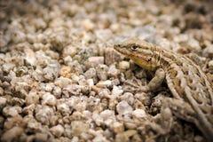 Wüsten-seiten--Blotched Eidechse Lizenzfreies Stockfoto