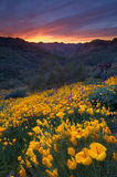 Wüsten-Sonnenuntergang und Mohnblumen Lizenzfreie Stockbilder