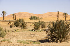 Wüsten-Vegetation unter dem fleckenlosen Himmel Stockfotografie