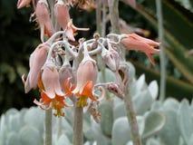 Wüstenblume in der Blüte Lizenzfreies Stockbild