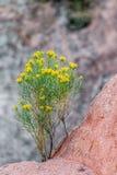 Wüstenblumenwachsen im Gebirgsfelsen lizenzfreie stockbilder
