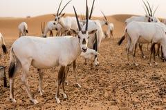 Wüsteneinwohner lizenzfreie stockfotos