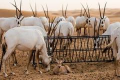 Wüsteneinwohner stockbild