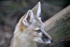 Wüstenfuchs im natürlichen Lebensraum Stockfotografie