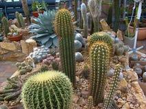 Wüstenkaktus Stockbild