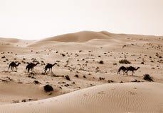 Wüstenkamele in den Sanddünen Lizenzfreie Stockfotos