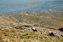 Wüstenlandschaft mit Pferden im Nordkurdistan Stockbild
