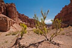 Wüstenpflanzen-Strauch saxaul (haloxylon) wachsend unter Felsen Stockbilder