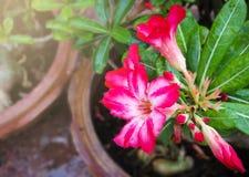 Wüstenrose Adenium obesum Lizenzfreie Stockfotografie