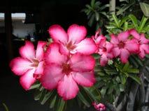 Wüstenrose (Adenium obesum) Stockfotografie