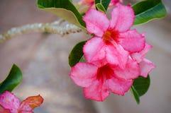 Wüstenrose, Adenium obesum Stockbilder