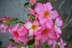 Wüstenrose, Adenium obesum Lizenzfreies Stockfoto