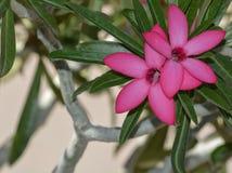 Wüstenrose Adenium obesum, in Pheonix Arizona Lizenzfreie Stockbilder