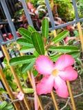 Wüstenrose auf Garten Lizenzfreie Stockfotos