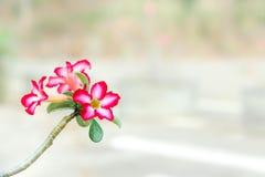 Wüstenrose/Hintergrundunschärfe Blume Impala Lilie/Adenium rosa Stockbild