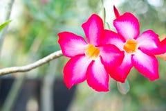 Wüstenrose; Impala-Lilie Lizenzfreies Stockfoto