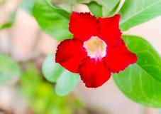 Wüstenrose; Impala-Lilie; Scheinazalee, Adenium obesum Balf. Lizenzfreies Stockfoto