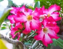 Wüstenrose, Impala-Lilie, Scheinazalee, Azaleenblumen lizenzfreie stockbilder