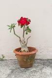 Wüstenrose ist eine Blume Blume roter Adenium mit Jardiniere Stockfoto