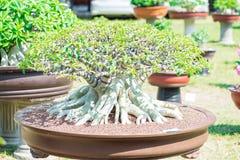 Wüstenrose- oder Adeniumblume in der Bonsaiart Stockbild