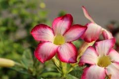 Wüstenrose-oder Impala-Lilie Lizenzfreie Stockfotografie