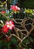 Wüstenrose-oder Impala-Lilien- oder Spott-Azaleenblume Lizenzfreies Stockfoto