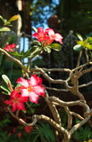 Wüstenrose-oder Impala-Lilien- oder Spott-Azaleenblume Lizenzfreie Stockfotografie