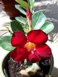 Wüstenrose Succulent Stockfotografie