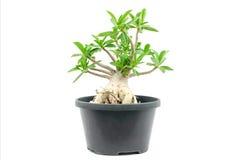 Wüstenrosebaum Lizenzfreies Stockbild