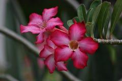 Wüstenroseblumen, Vorderansicht Lizenzfreies Stockbild