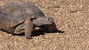 Wüstenschildkröte stock footage