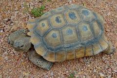 Wüstenschildkröte lizenzfreies stockbild
