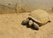 Wüstenschildkröte lizenzfreies stockfoto