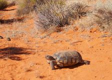 Wüstenschildkröte, Gopherus agassizi lizenzfreies stockfoto